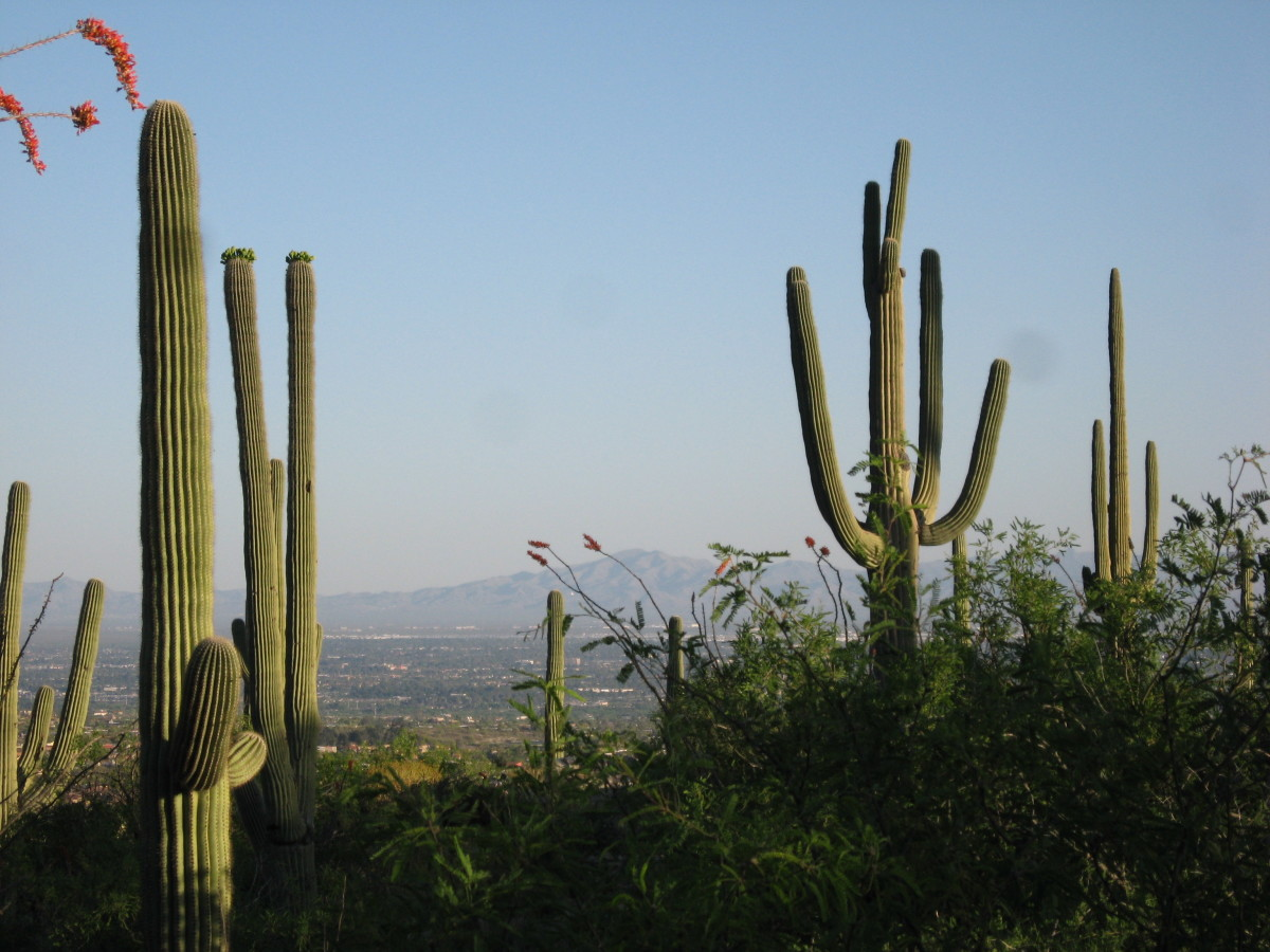 Saguaro cacti in the desert of Southern Arizona