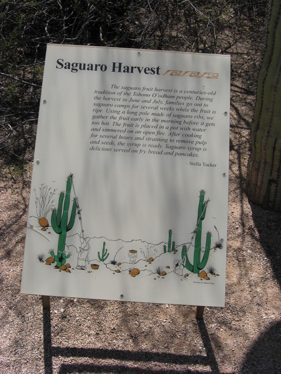 Sign describing Arizona Tohono O'odham Indians harvesting fruit of a Saguaro cactus