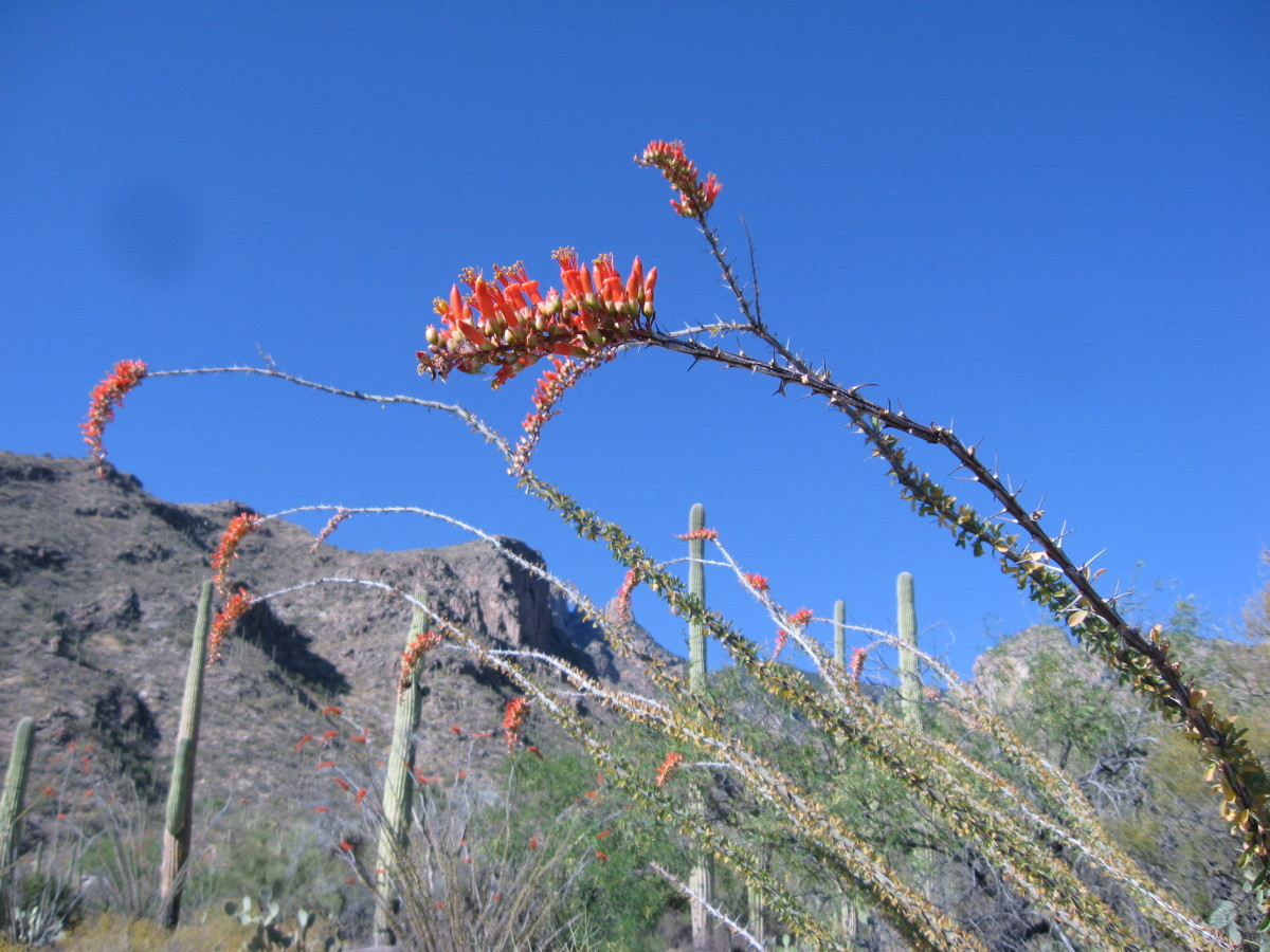 Ocotillo in bloom along Finger Rock hiking trail in Tucson
