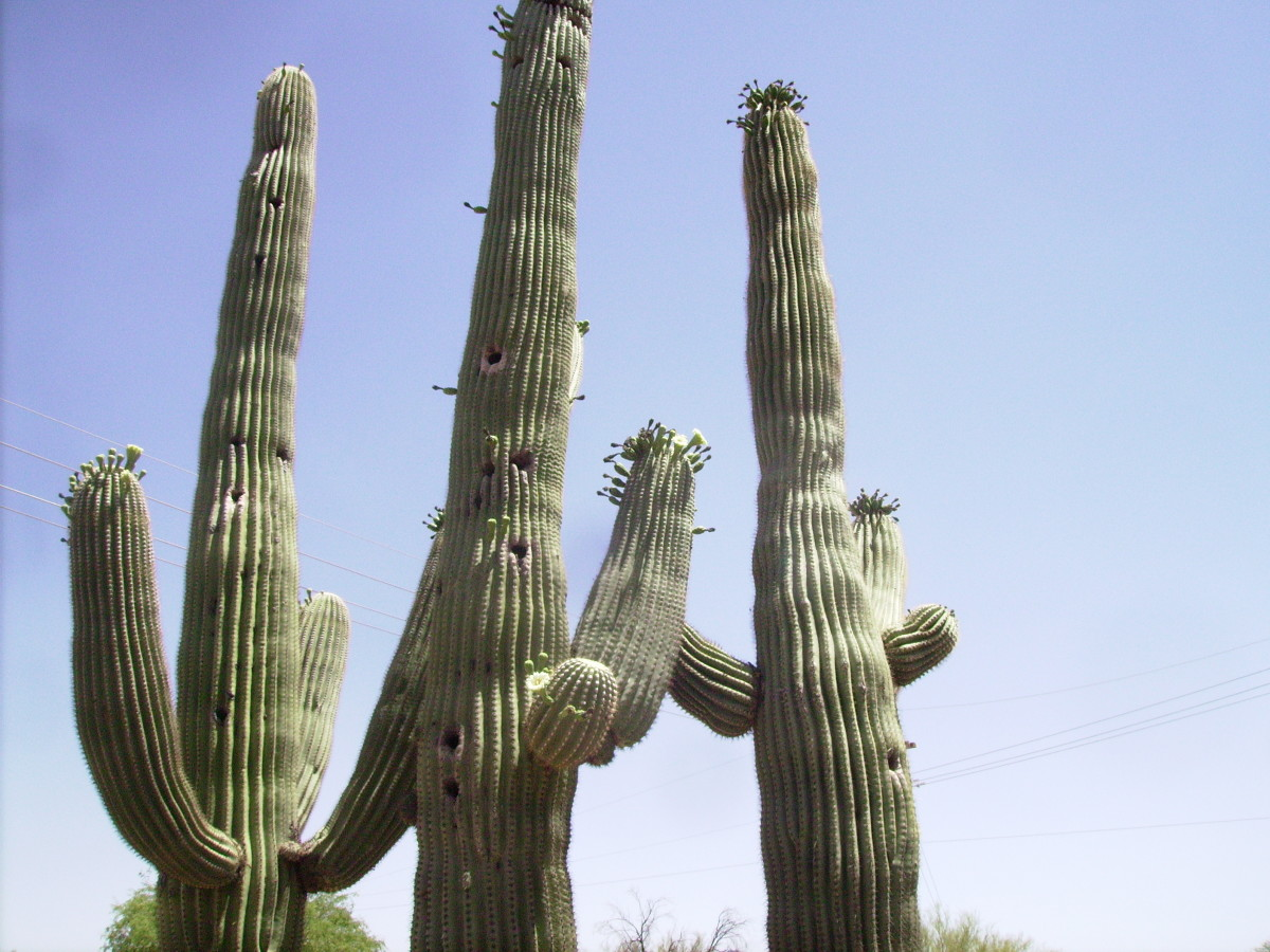 Giant Saguaro Cacti in Tucson, Arizona