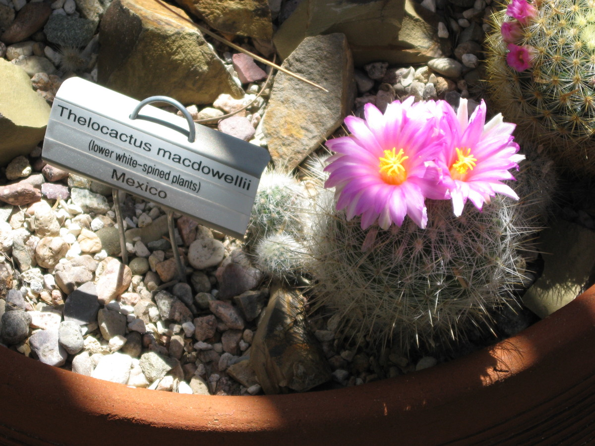 Purple flowers on a little Thelocactus Cactus