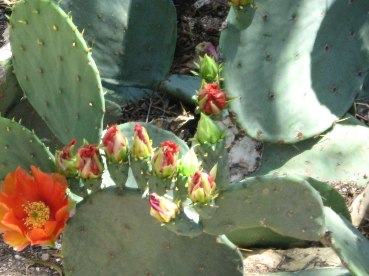Flower and buds on a variety of prickly pear cactus