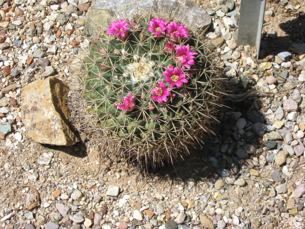 Cactoceae Cactus  in bloom