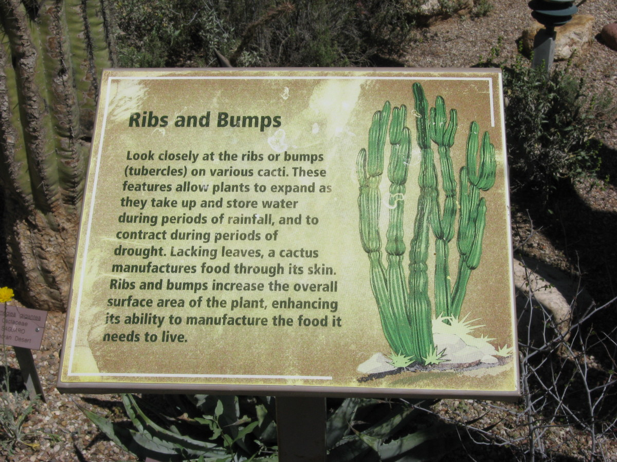 Sign describing the ribs and bumps that make up a Saguaro Cactus