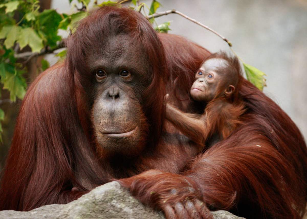 The word orang-utan literally means a 'person of the forest'.