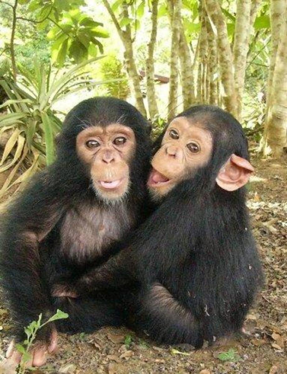 Chimpanzees are found in Africa, from Guinea to western Uganda and Tanzania.