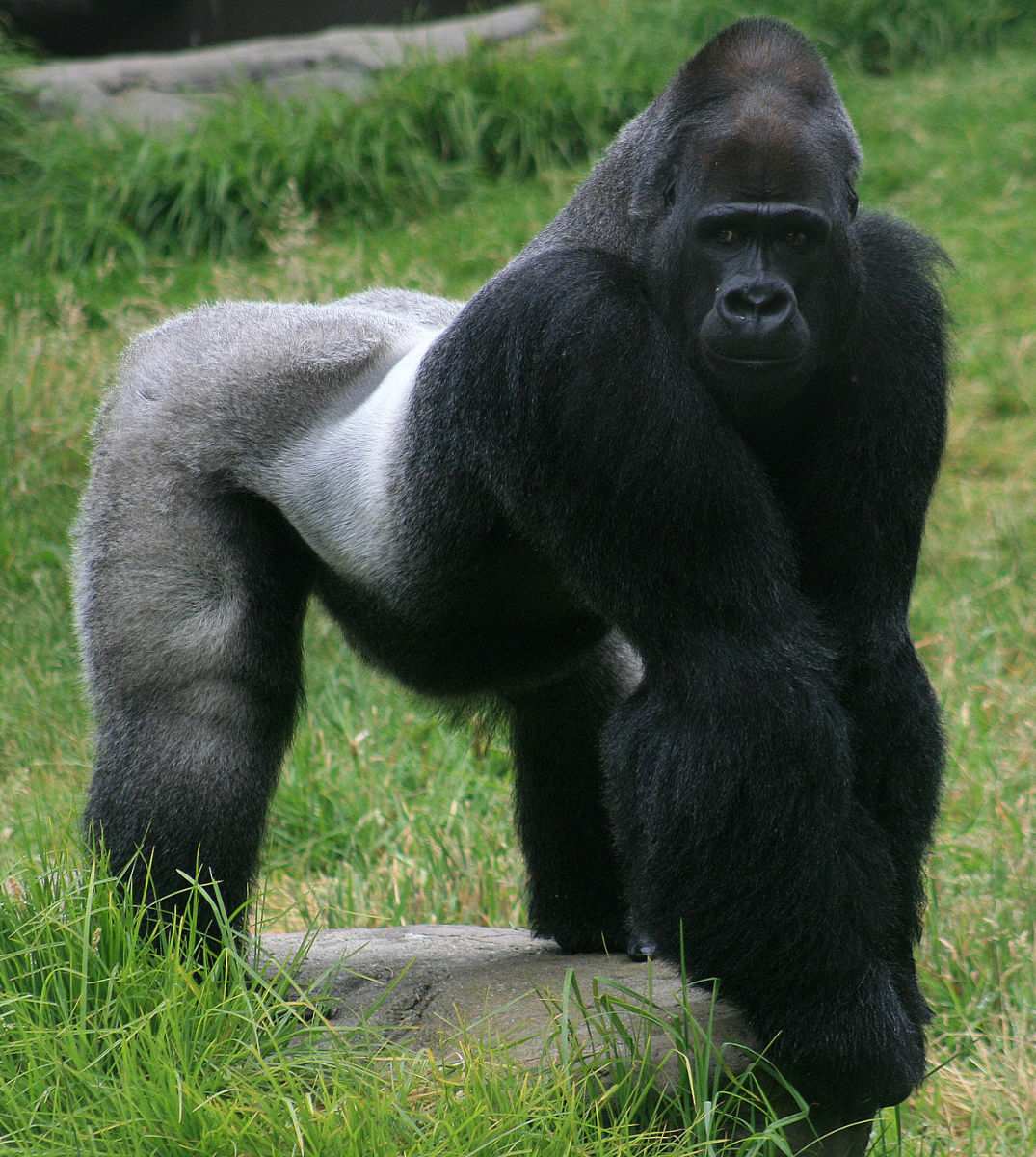Mountain gorillas are currently an endangered species.