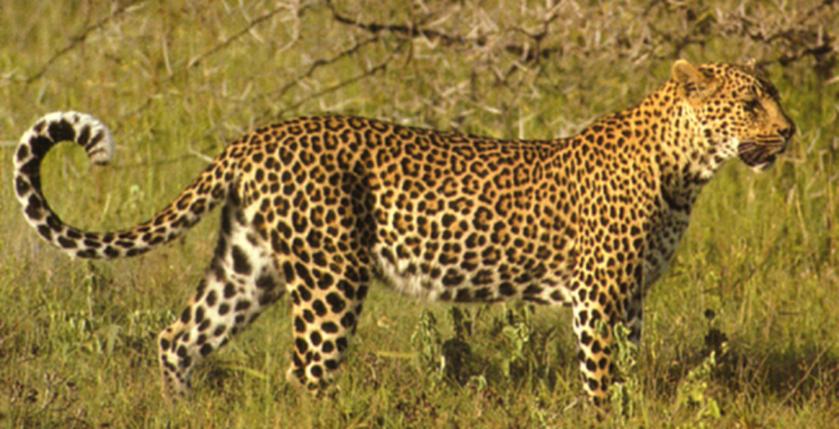 Leopards are found all over Africa, from the Arabian Peninsula through Asia to Manchuria and Korea.