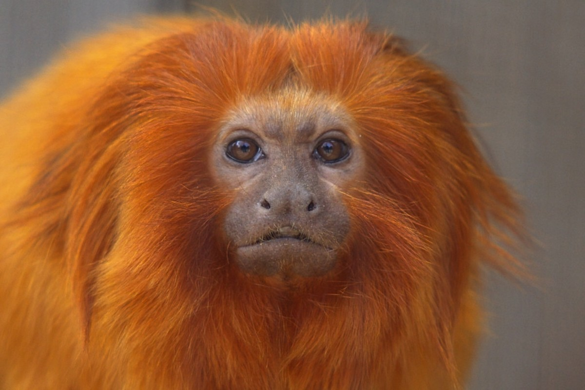 Closeup on the golden lion tamarin's face.