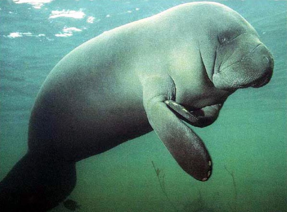 Manatees are gentle, plant-eating herbivores.