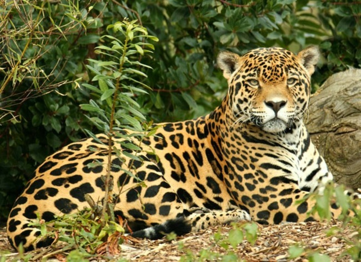 The jaguar is the only member of the panthera family to be found in the Americas and is the biggest cat on the continent.