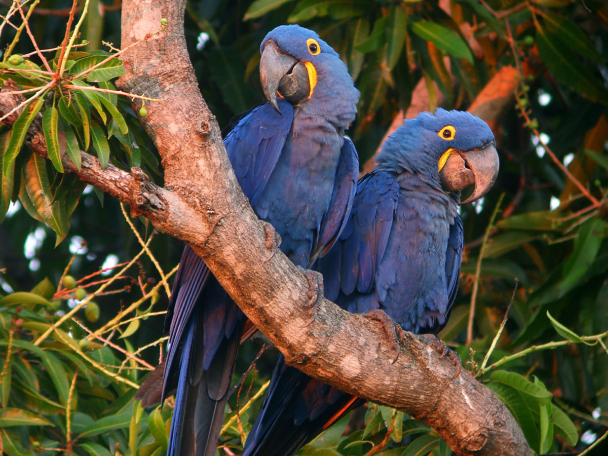The hyacinth macaws are found in southern Brazil.