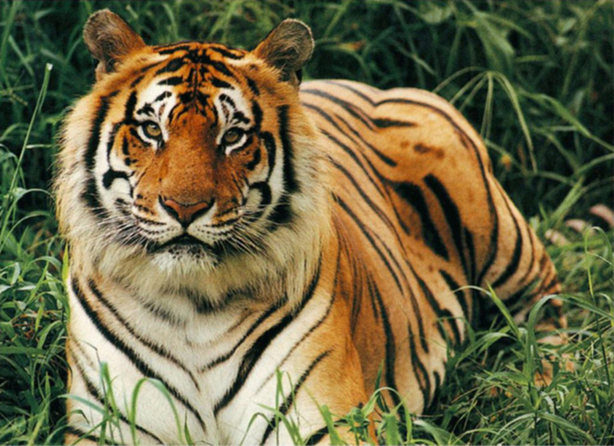 The Bengal tiger is an extremely endangered species.