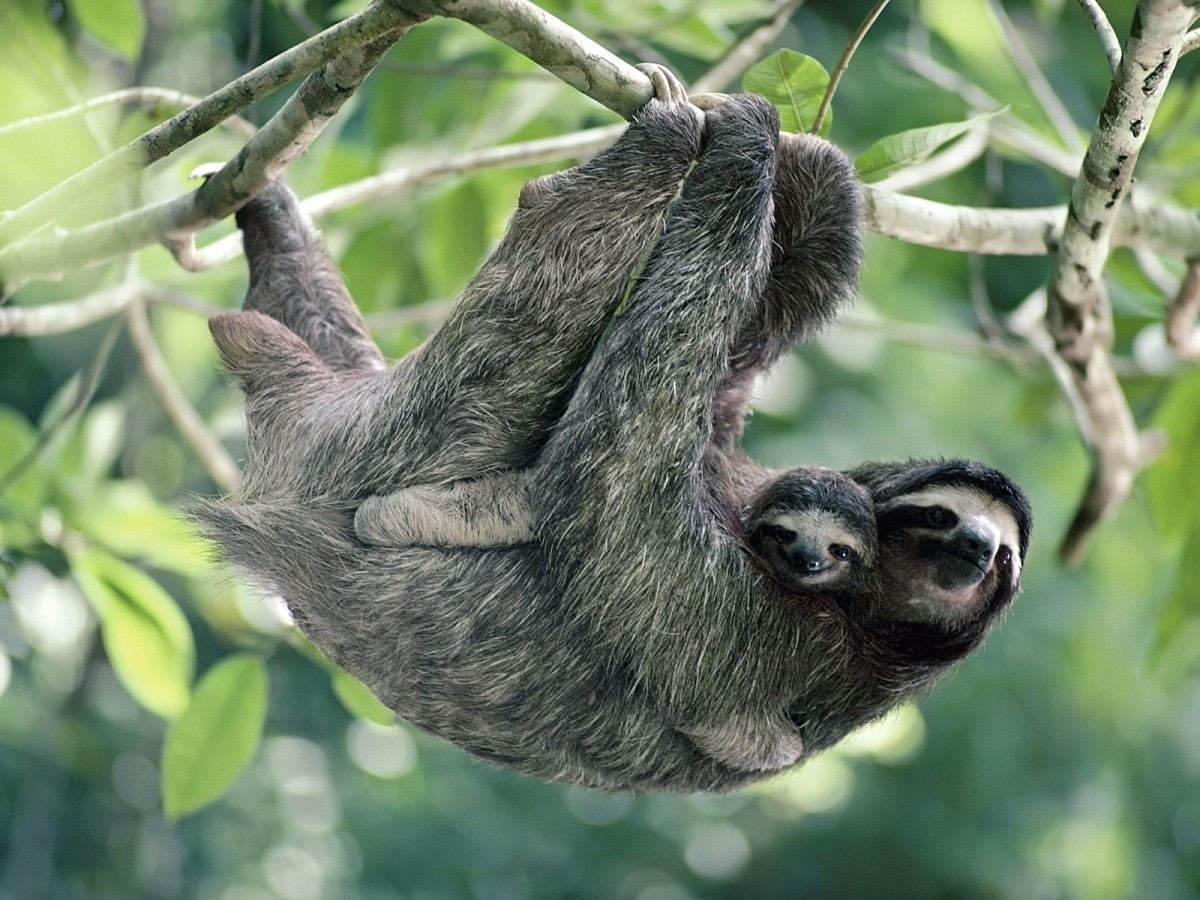 The three toed sloths are found in central and South American rainforests.