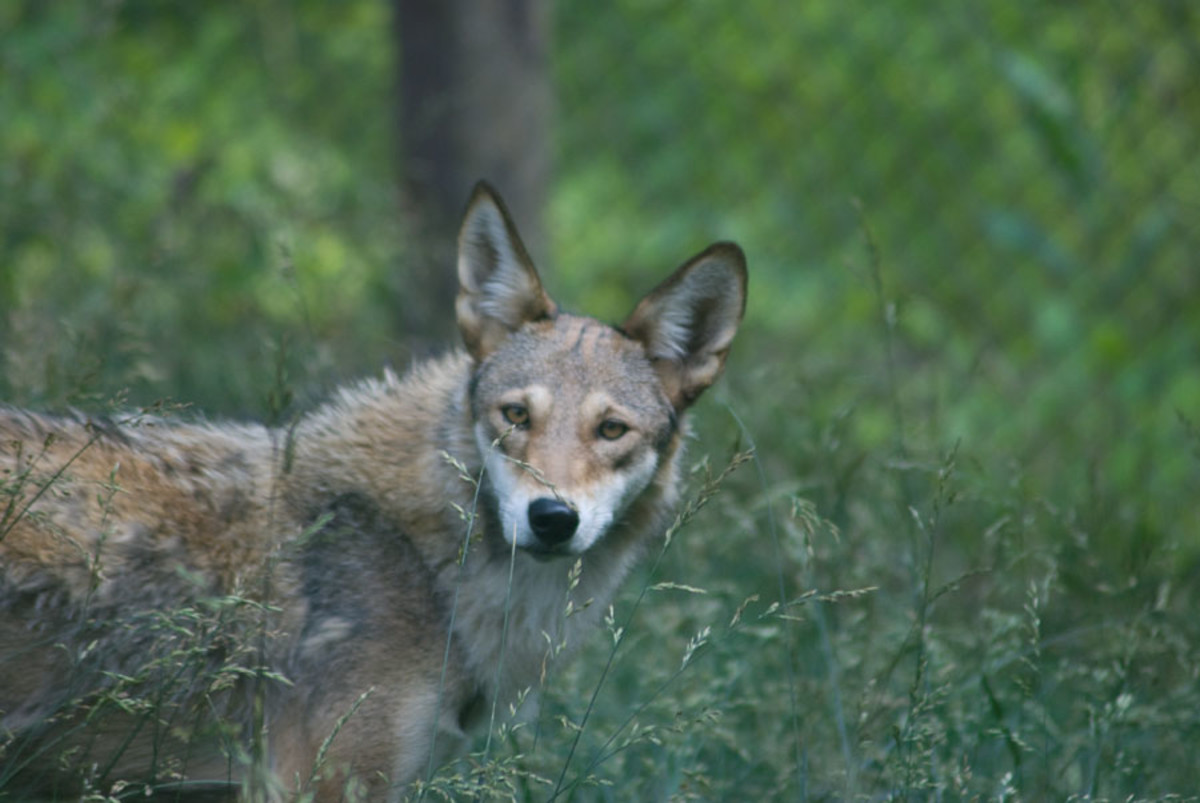Red wolf staring at the camera
