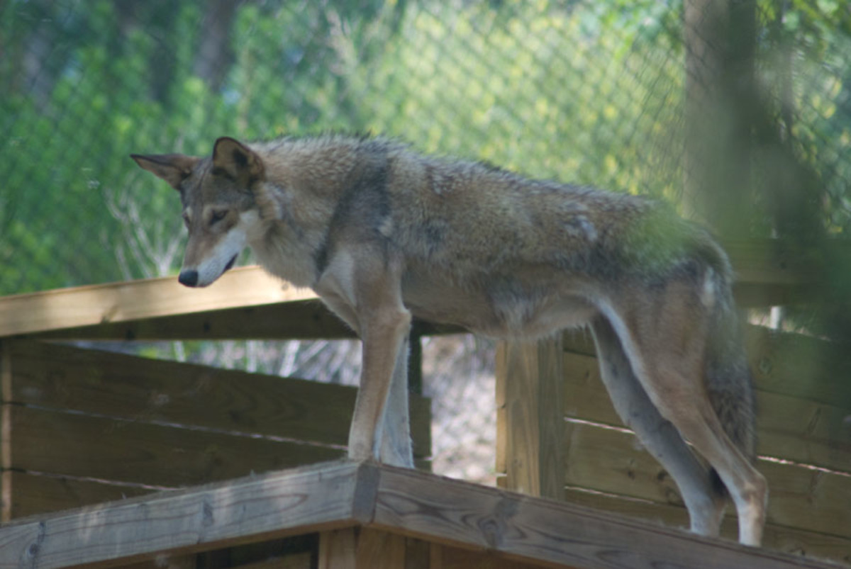 Red wolf standing on his house