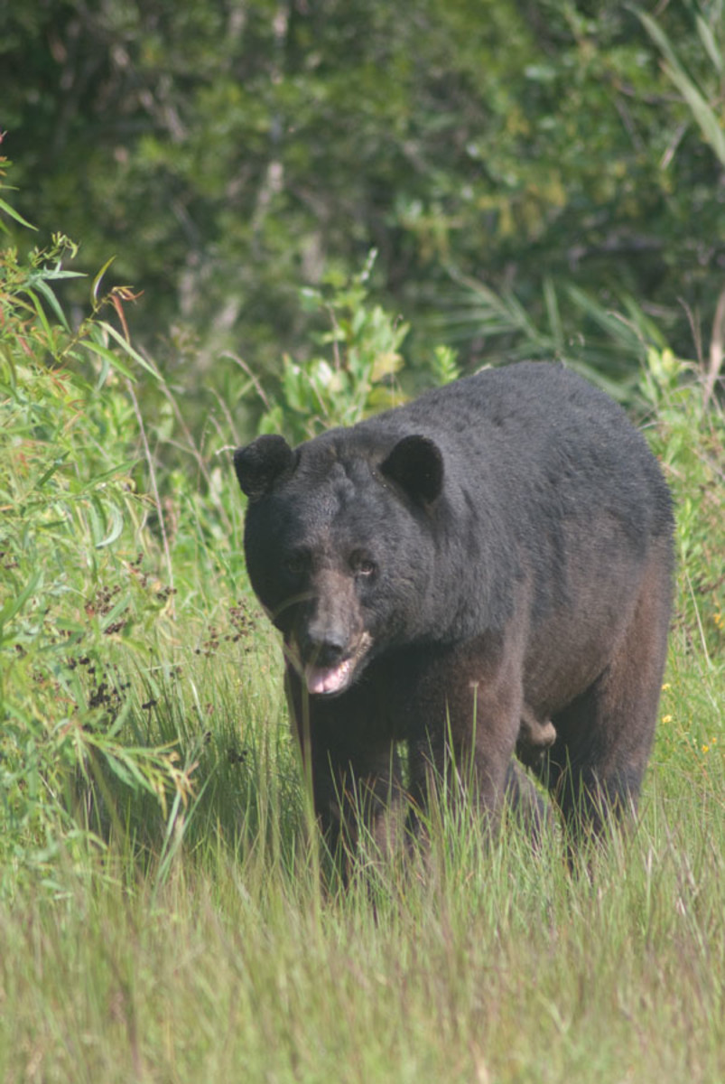 Black bear wanders around on the Alligator River National Wildlife Refuge