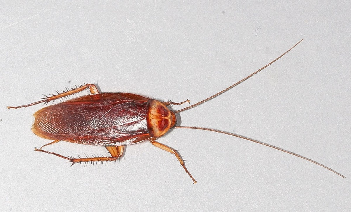 The upper surface of an American cockroach