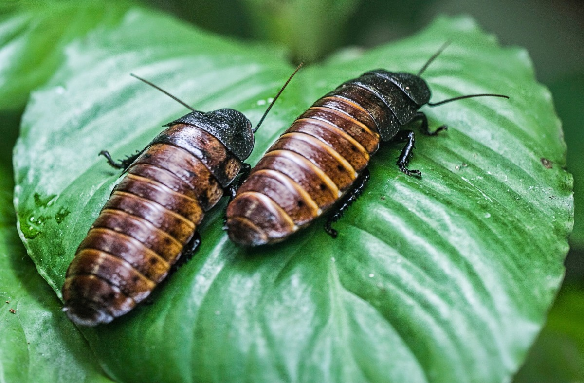 Madagascar hissing cockroaches are kept as pets.