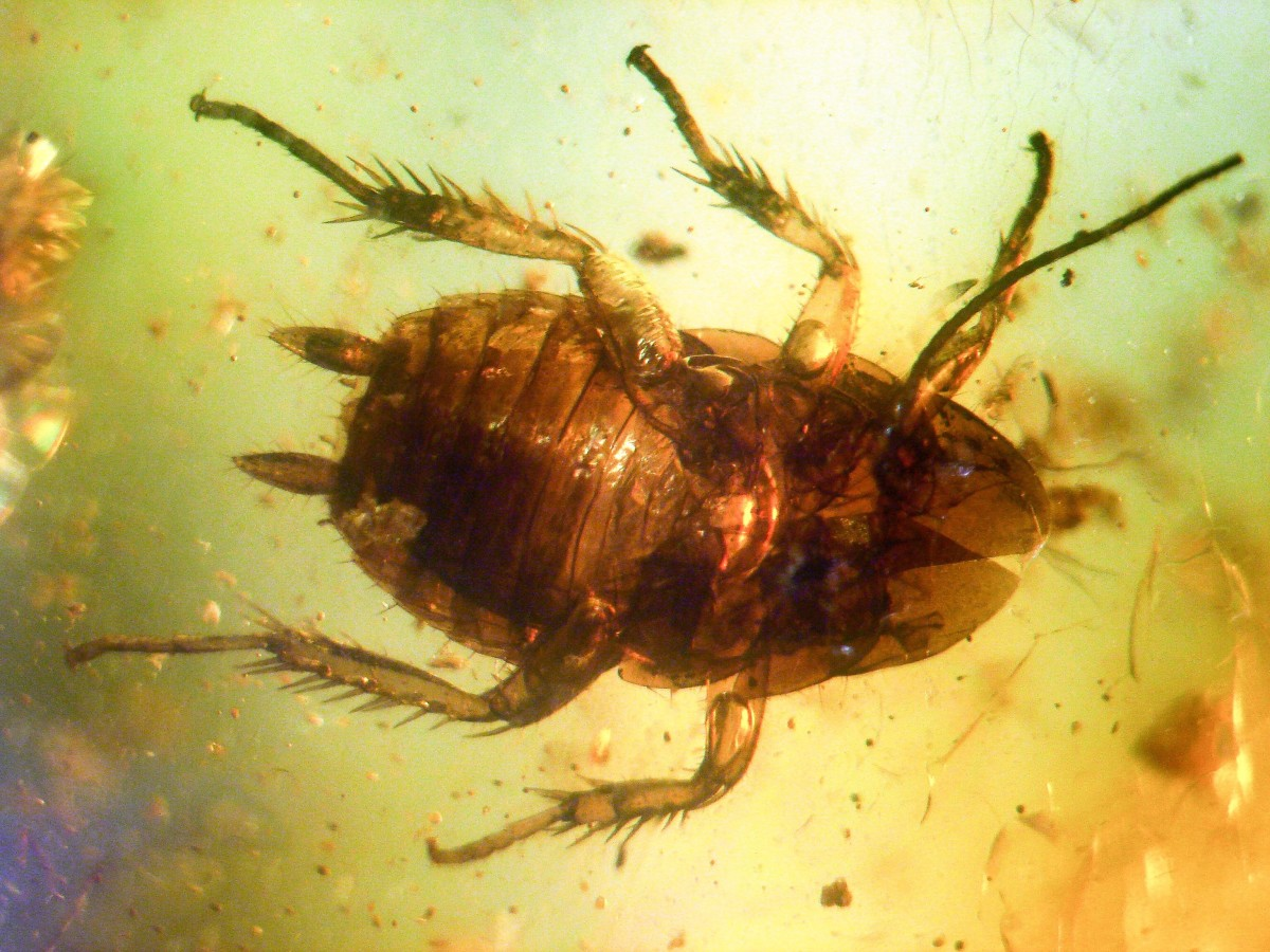 The outer covering of a 40 to 50 million year old cockroach preserved in amber