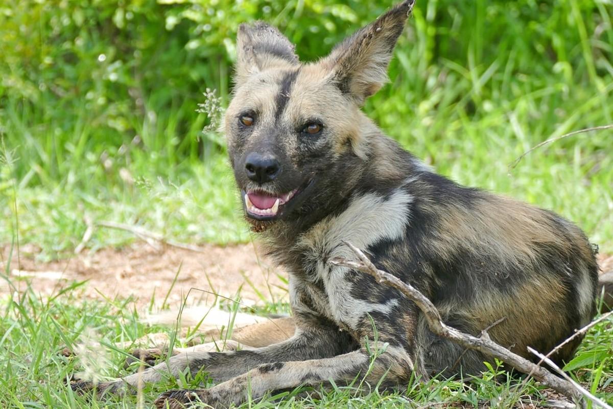 A female African wild dog