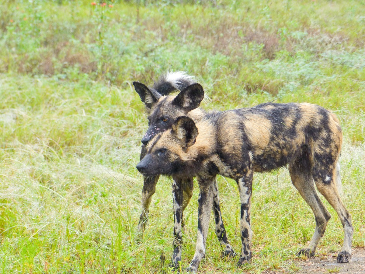 Two African wild dogs in the rain