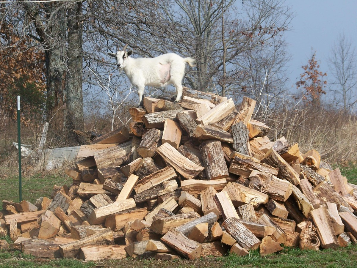 April loves to climb and jump on the wood pile.  Minnie Jewel Farm, Mountain Grove, MO.  Photo:  S. Thorn (March 2011)