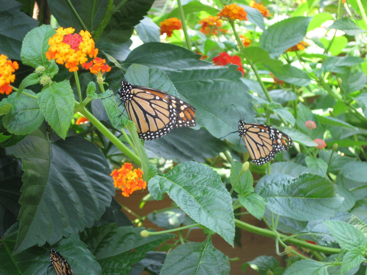 Beautiful and easy to identify, Monarch butterflies are part of the Brushfoot family. Monarch feet are shaped like bushes. Monarchs are large and common throughout the U.S., Mexico, and southern Canada.