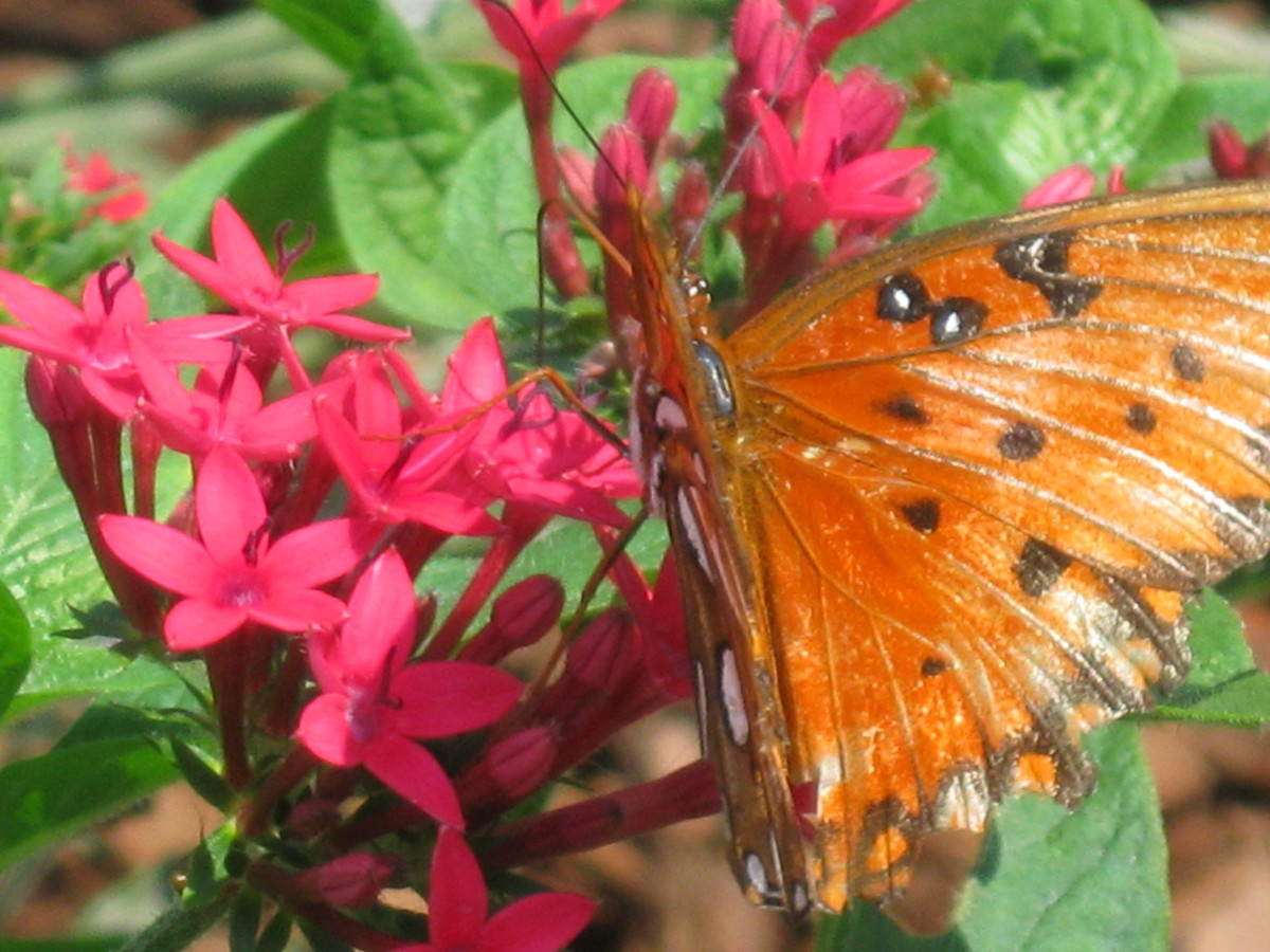 I have not positively identified this butterfly. The closest I have come is the Gulf Fritillary, a member of the Brushfoot Family.