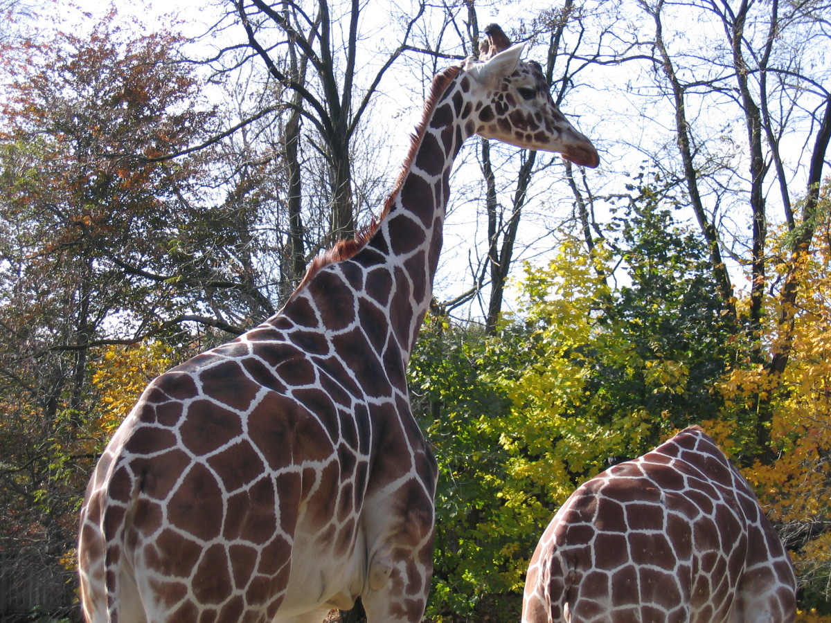 Adult giraffes communicate using sound at night, when vision is limited.