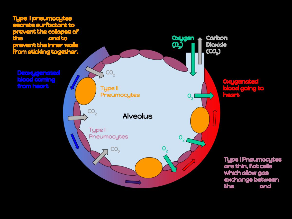 An alveolus