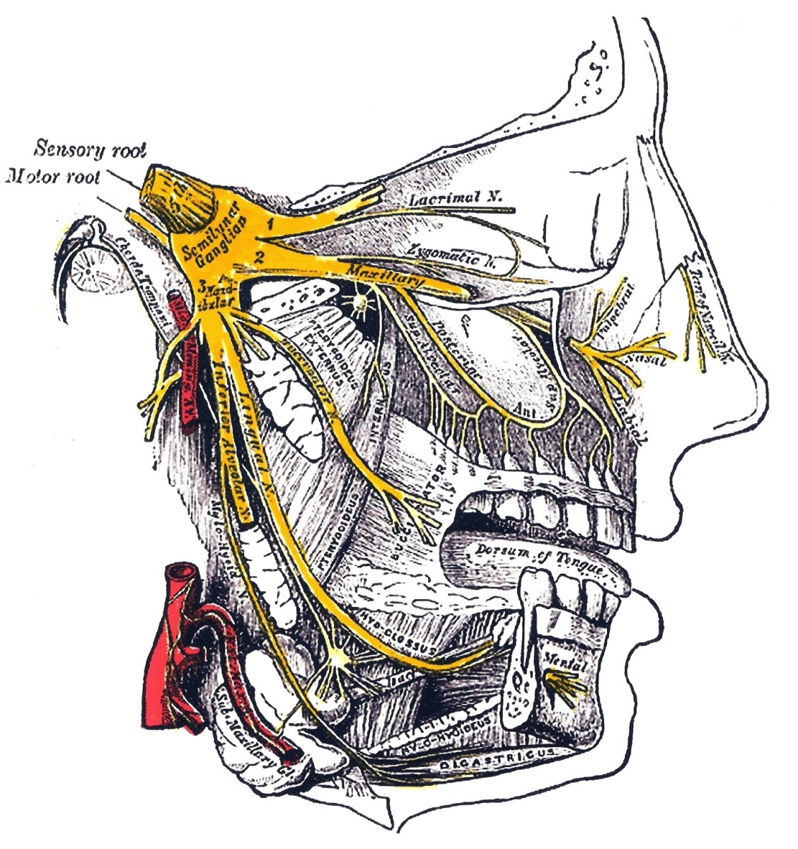 The branches of the trigeminal nerve (in yellow); this nerve is believed to be involved in the photic sneeze that some people experience when they are suddenly exposed to strong light