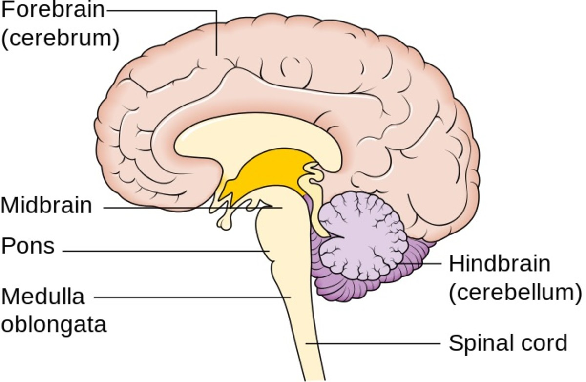 The medulla oblongata, pons, and midbrain form the brainstem (or brain stem) at the top of the spinal cord. The medulla oblongata stimulates inhalation.