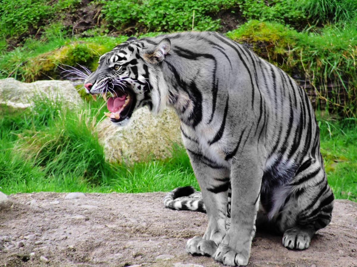 Maltese, or Blue, Tiger