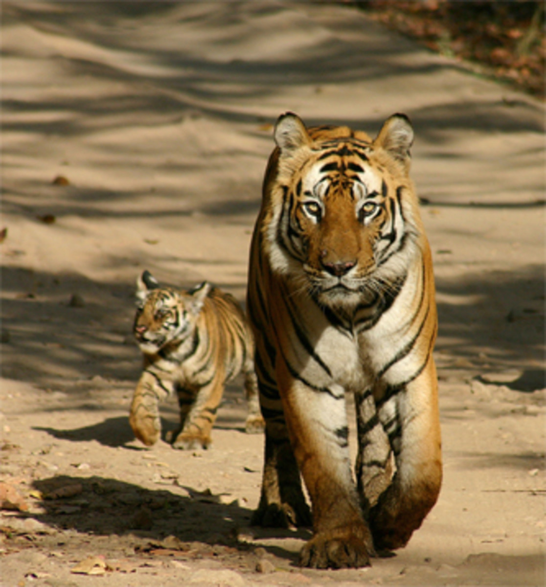 You can see wild tigers in many of India's national parks