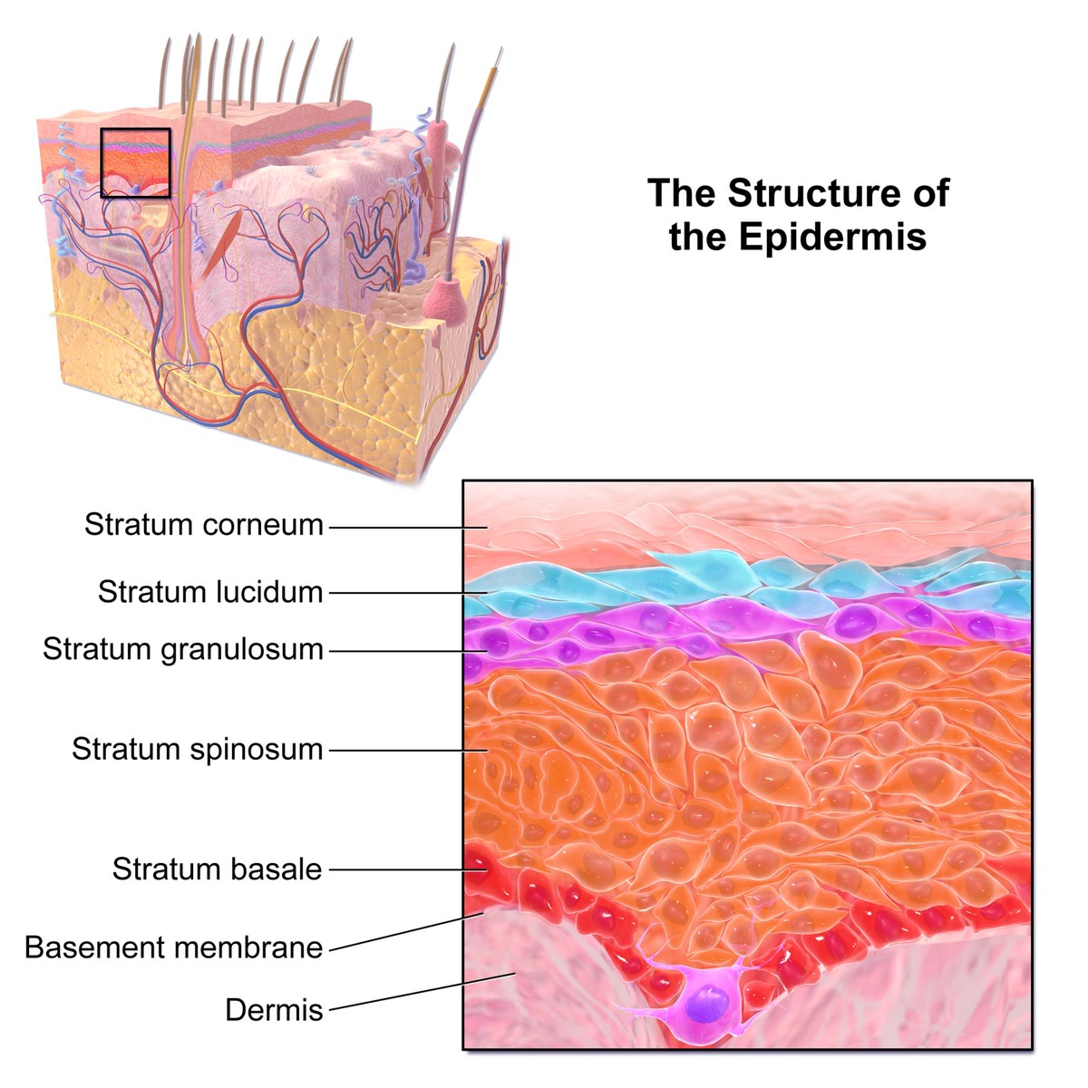 Skin is made of an outer epidermis and an inner dermis. The epidermis consists of five layers. The stratum corneum is the outermost layer.