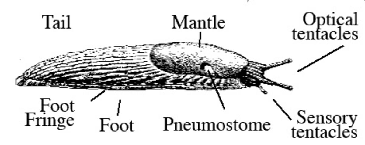 External anatomy of a slug