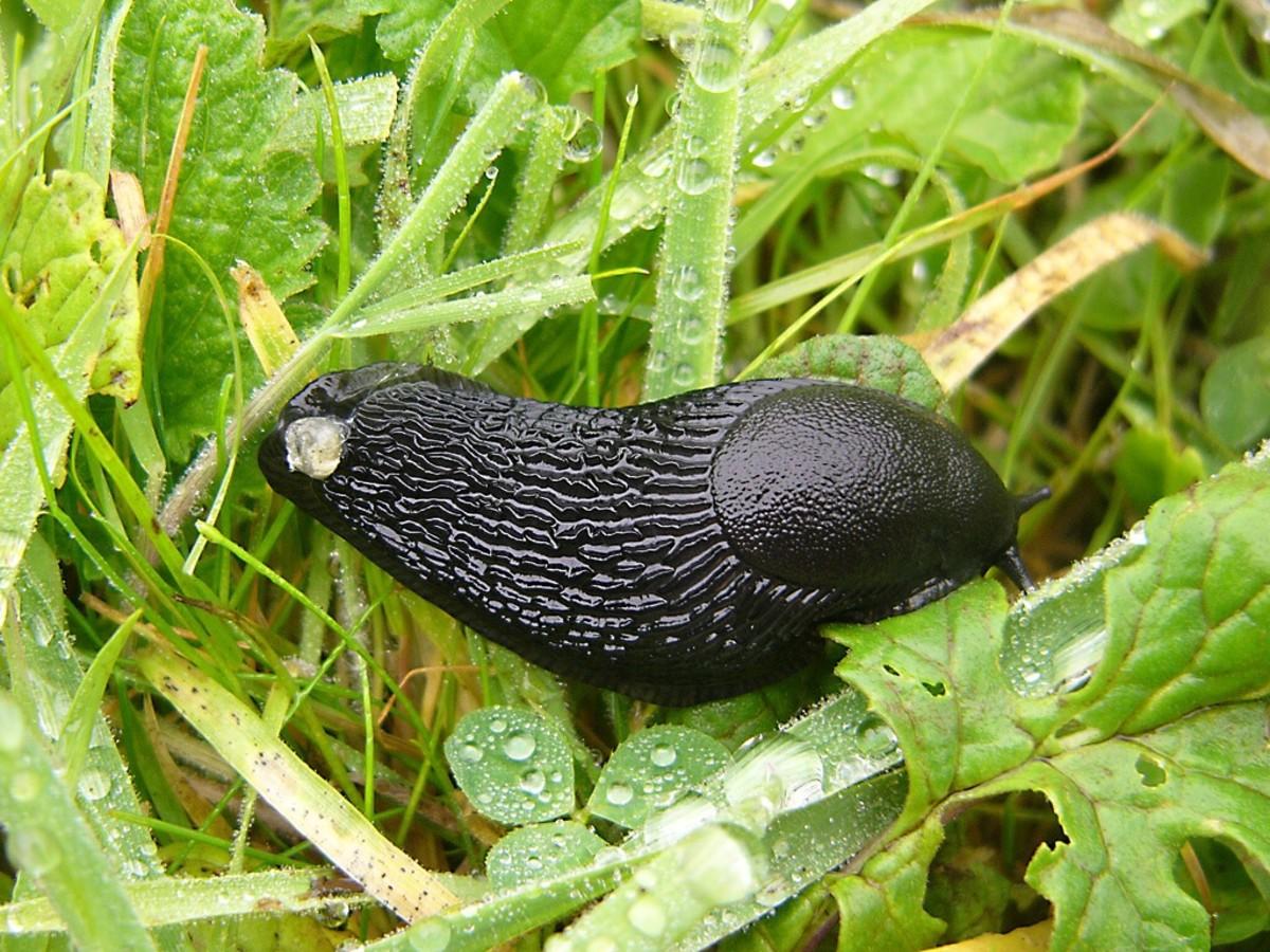 Arion ater or the black slug