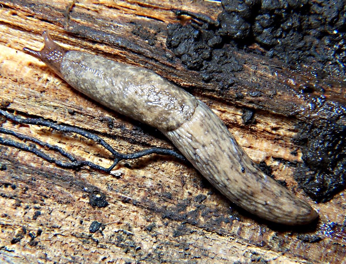 Deroceras reticulatum, the grey field slug,  or the grey garden slug