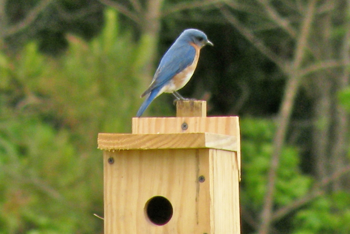 The bluebirds will stake out their box and defend it from intruders.