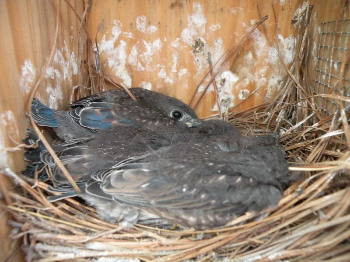 Baby blue birds starting to get their feathers wait in the nest for their mother to bring food.