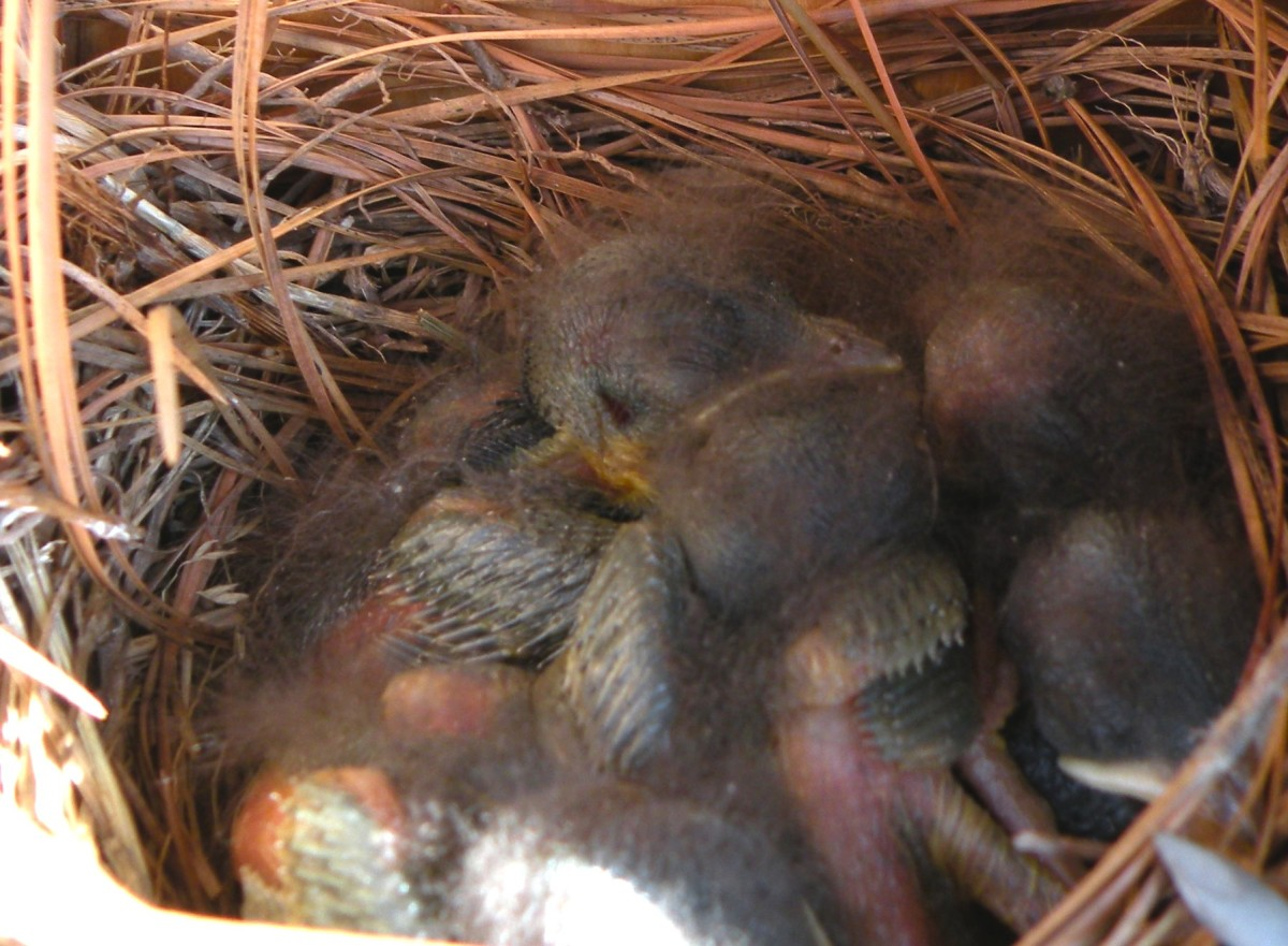 Baby bluebirds with fuzzy feathers are alert looking but very quiet as they wait for their parents to bring food.