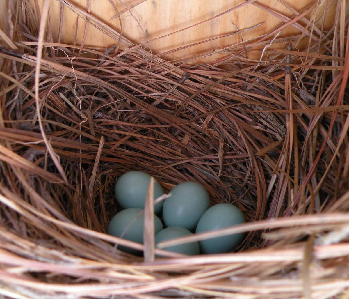 "Bluebird eggs in nest used in my Hub ""Bluebirds ~ Pictures of Bluebirds~Bluebird Houses~Attracting Bluebirds"""