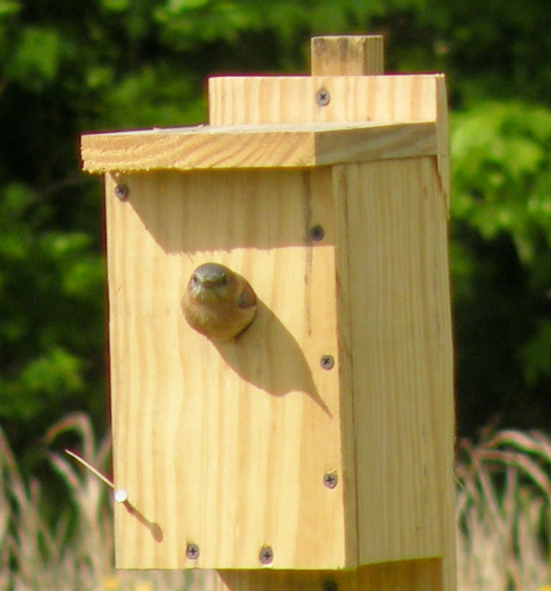 Female bluebird looks out of the box.