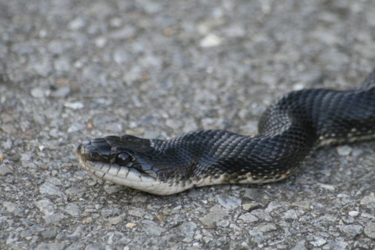 This is a black Rat Snake. Though non-venomous they can pack a mean bite, and they get very big.