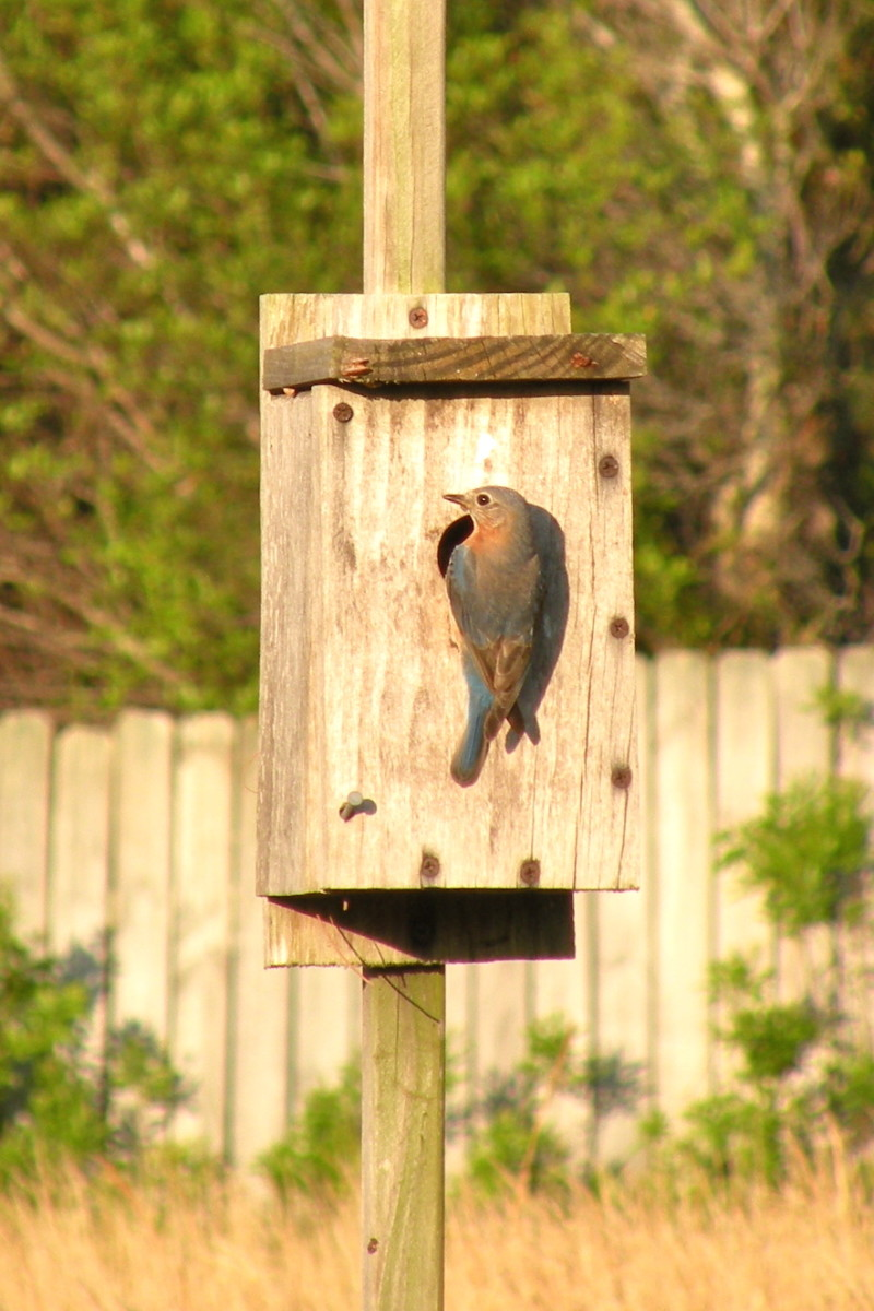 Female bluebird feeding young.