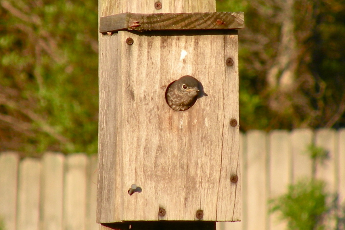 One of the young bluebirds looks around for mom and dad.