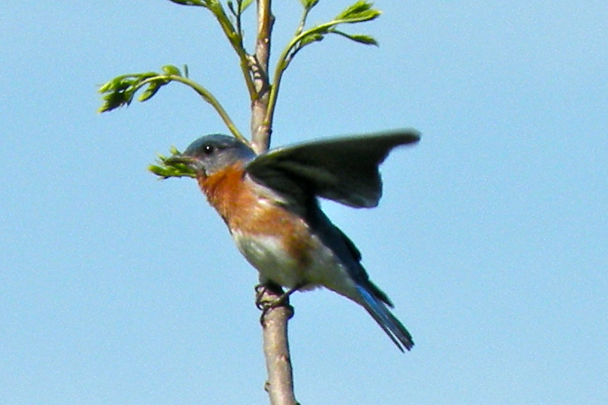 Male bluebird ready to feed the young ones.