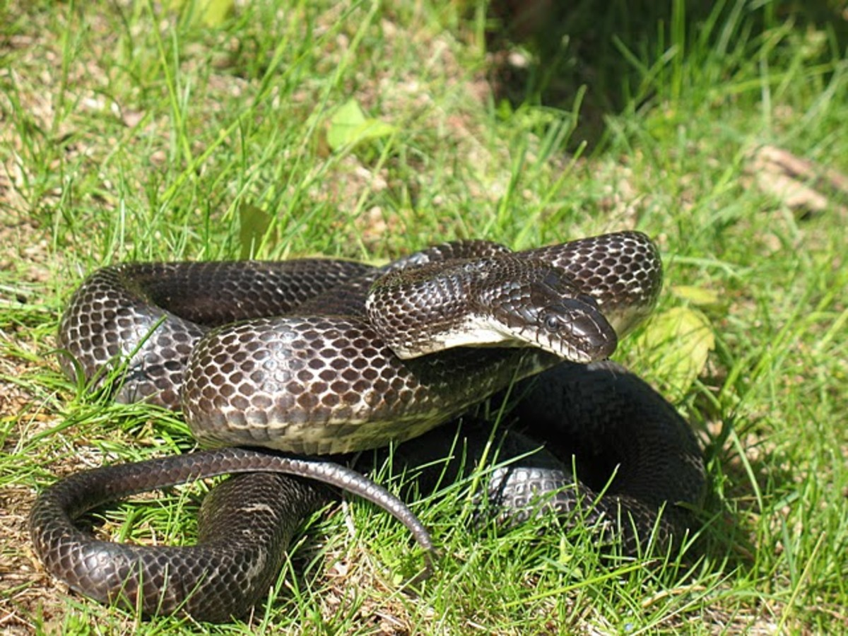 Notice the difference in this black Ratt Snake. The head is much smaller in comparison, more rounded, and the pupils are round.