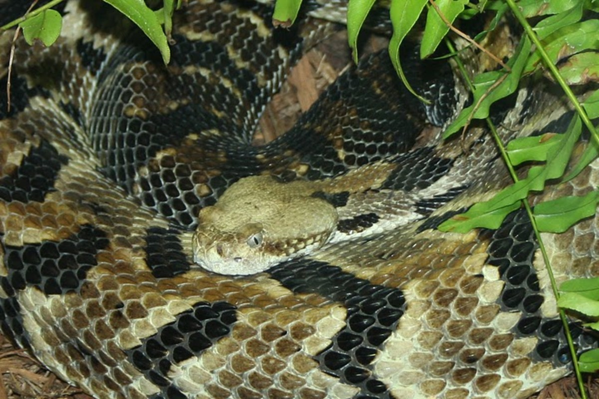 notice the Shape of this Pit Viper's head,  the pits, the slitted eyes, and the large venom glands. This particular snake is a Rattlesnake